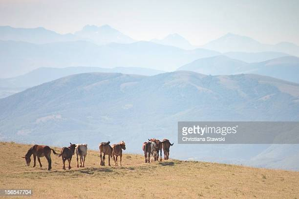 Horses and mules on mountain