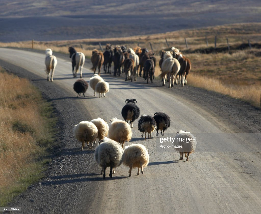Horses and Sheep being moved to another location. Every autumn horses and sheep are rounded up, Skagafjordur, Iceland