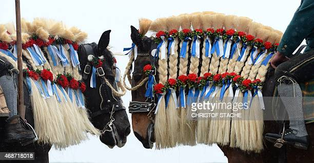 Horses are decorated in Bavarian colours during the traditional St Georgi Ride on Easter Monday on April 6 in Traunstein southern Germany The annual...