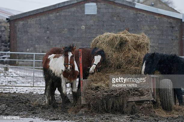 Horses are pictured in a field beside the Peter Boddy slaughterhouse in Todmorden northwest England on February 13 2013 British police searching for...