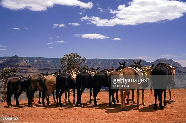 Horses at Grand Canyon National Park