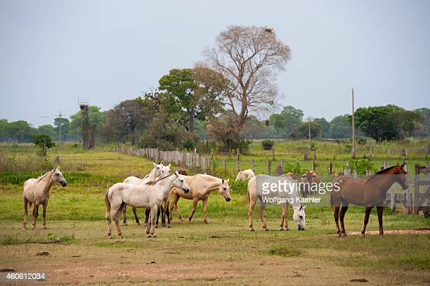 Horses at the Campo Grande facienda near the Pixaim River in the northern Pantanal Mato Grosso province of Brazil