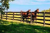 Horses behind a four-bar fence at a stud farm near Lexington KY