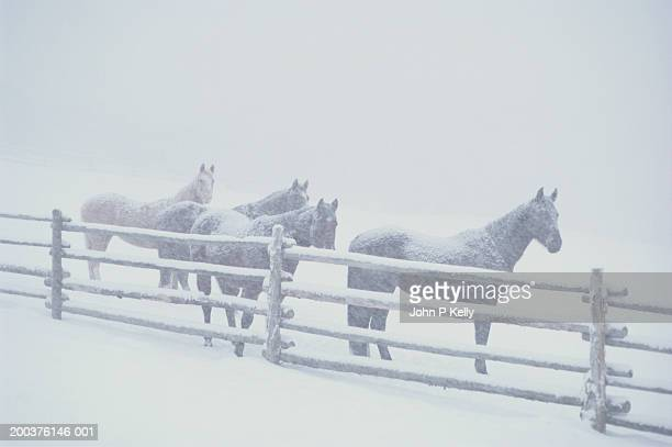 Horses behind fence in snowstorm, winter