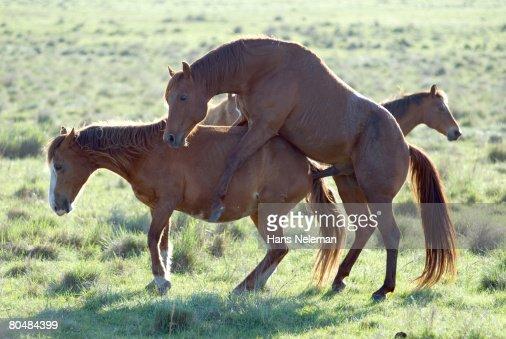 Horses Breeding On Grass Side View Bildbanksbilder | Getty Images