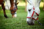 Horses eating grass,closeup