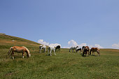 Horses enjoy the forest near village on July 02 2016 in Nymfaio Greece Nymfaio is a Macedonian village and located in a stunning natural landscape on...