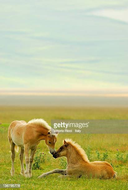Horses foals in field