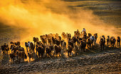 A herd of horses galloping in the sunset