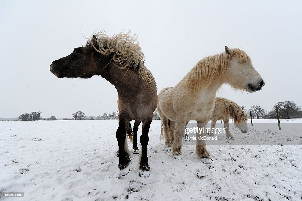Horses graze in a field in Oakley as heavy snow fall sweeps across the country in Oakley, Suffolk, United Kingdom on January 18, 2013 in Suffolk, United Kingdom.