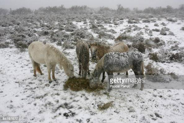 Horses graze in a field on January 7 2009 close to the gypsy village of Saintes Maries de la Mer in Camargue France