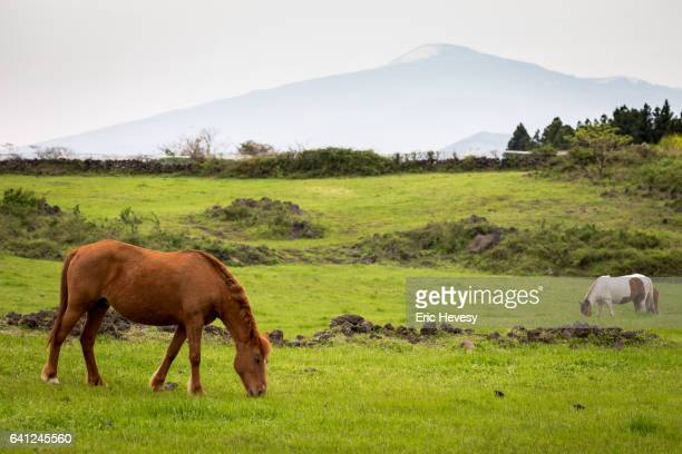 Horses graze under Mt. Hallasan