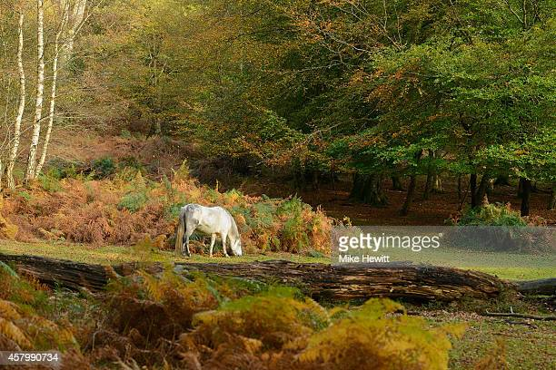 A horses grazes during the autumn season in the New Forest on October 28 2014 in Hampshire England As the leaves change from green to autumnal...
