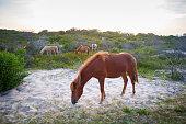 Horses grazing at Assateague Island National Seashore