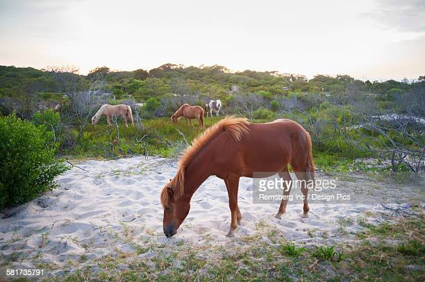 Horses grazing at Assateague Island National Seashore