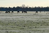 Horses grazing in a winter chilled meadow