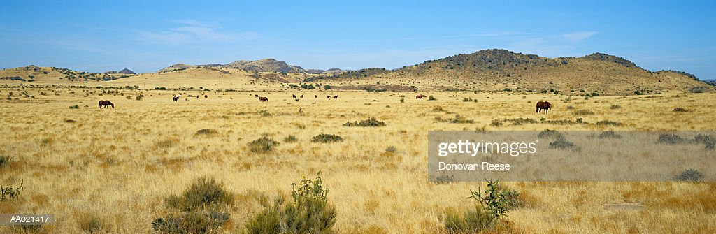 Horses Grazing in Landscape, Texas, USA : Stock Photo