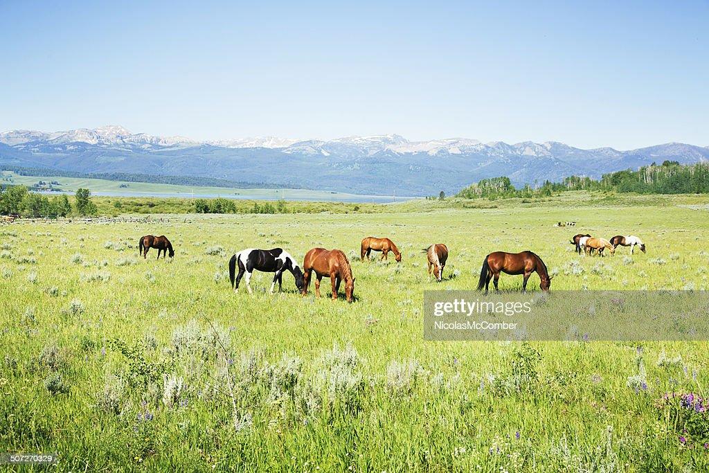 Horses grazing in Montana pastures