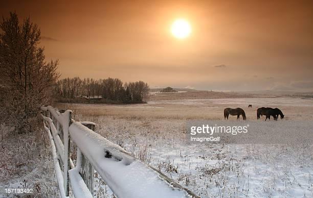Horses Grazing in Pasture in Winter
