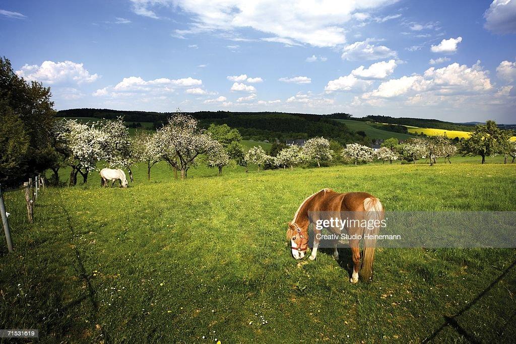 Horses grazing in pasture : Stock Photo