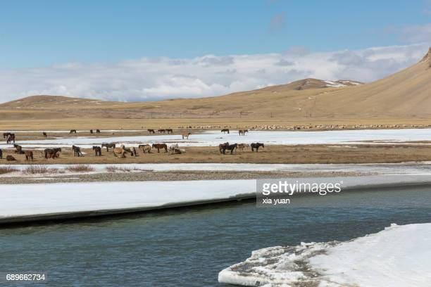 Horses grazing on grassy field with ice sheets melting,Bayanbulak,China