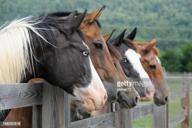 Cavalos em uma linha, olhando para a vedação, vista lateral