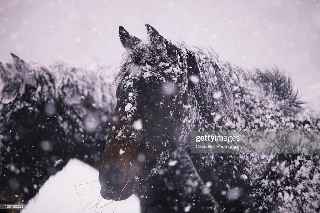 Horses in blizzard : Stock Photo