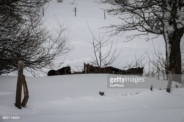 Horses in Campotosto Italy on January 19 2017 A great deal of snow has fallen in the area which was hit by four quakes on Wednesday Four strong...