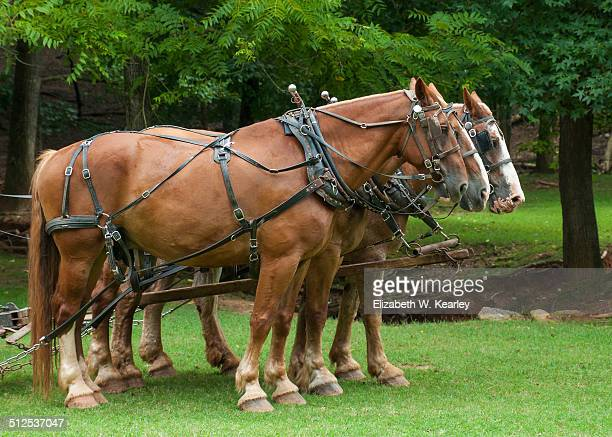 Horses in harnesses