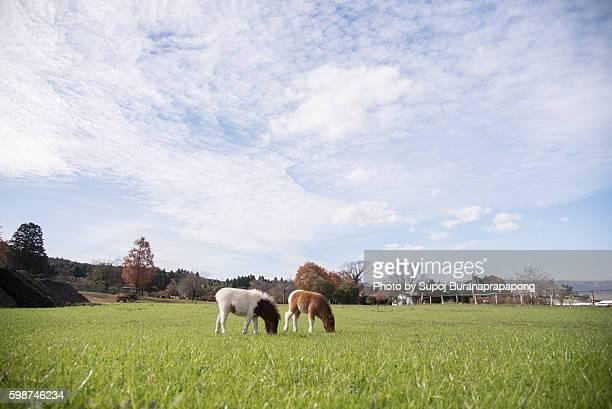 Horses in kusasenri, Aso city, Kumamoto Prefecture, Japan