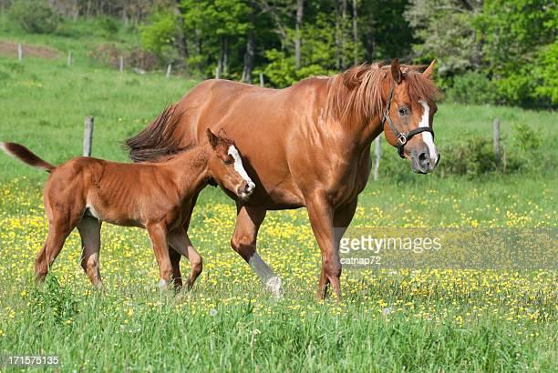 Os cavalos na Primavera Ranúnculo campo, o jovem égua com potro