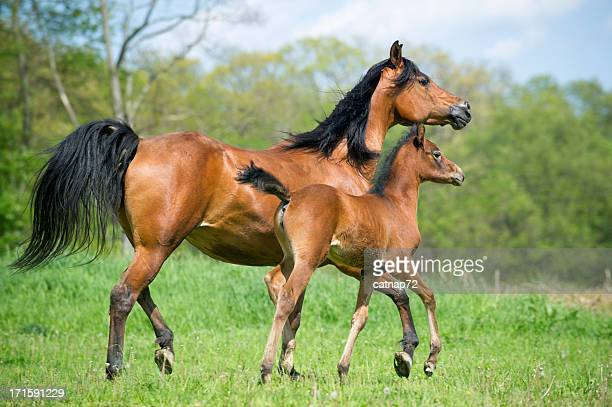 Horses in Summer Pasture, Arabian Mare and Foal Side View