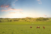 Horses in the grass