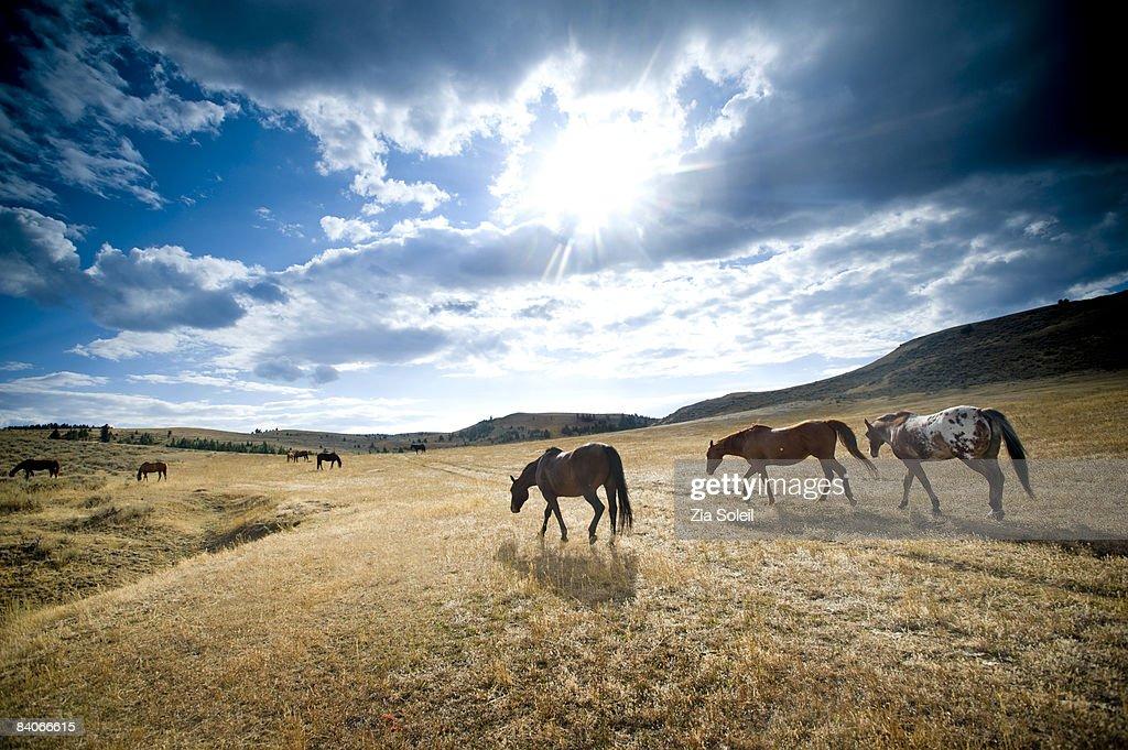 horses in wide open summer pasture, big sky
