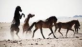 Horses kicking in dusty field