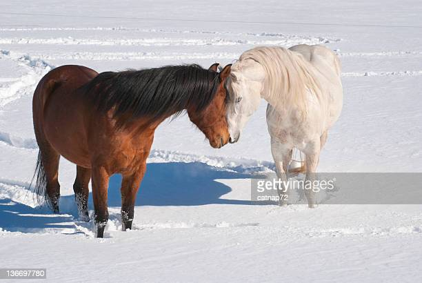 Horses Kissing in Snowy Field, Courtship and Mating Behavior