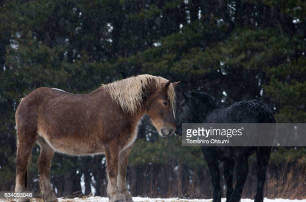 Horses known as Kandachime stand on the grazing land near Cape Shiriyazaki on February 6 2017 in Aomori Japan The Kandachime horse is known for...
