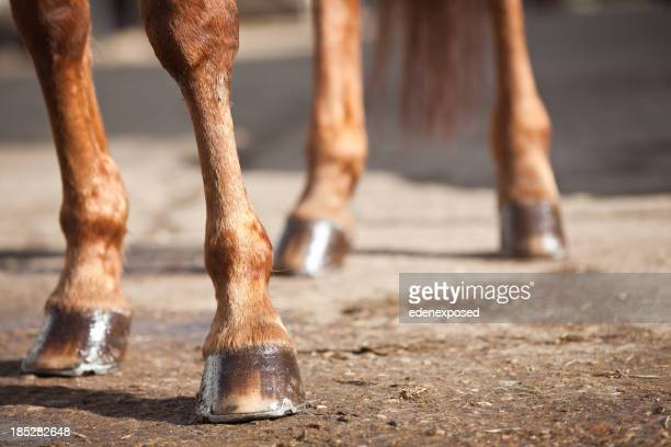 Horses Legs and Hooves
