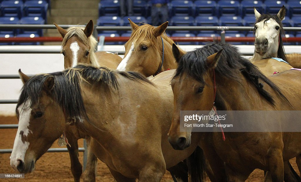 Horses move through a series of pens at a preview for buyers at the Mustang Million wild horse adoption auction sponsored by the Bureau of Land Management and the Mustang Heritage Foundation, Thursday, May 9, 2013, in the John Justin Arena at Will Rogers Memorial Center in Fort Worth, Texas. Bidding to adopt the mustangs will be held in two groups on Friday and Sunday at noon.