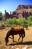 Horses at the Native American Havasupai village, near the bottom of the Grand Canyon.