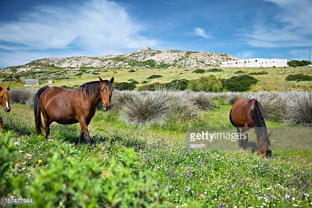 Pferde auf Asinara island