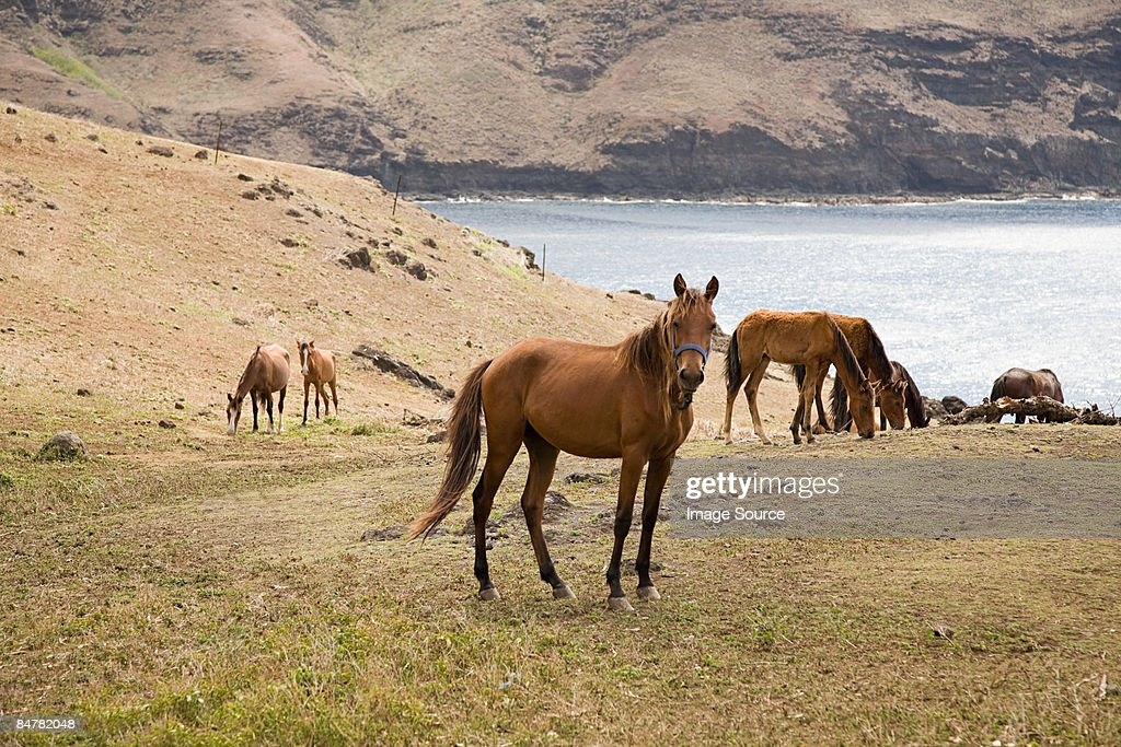 Horses on ua huka : Stock Photo