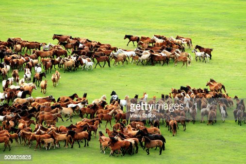Horses on wide grassy plains of Mongolia