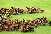 Horses on wide grassy plains of Mongolia