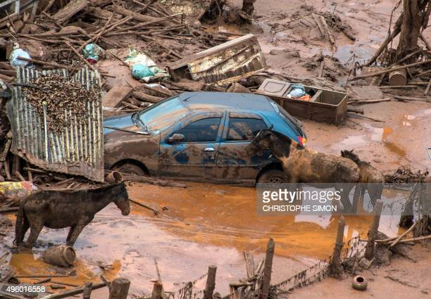 Horses remain next to a car after a dam burst in the village of Bento Rodrigues in Mariana Minas Gerais state Brazil on November 6 2015 A dam burst...