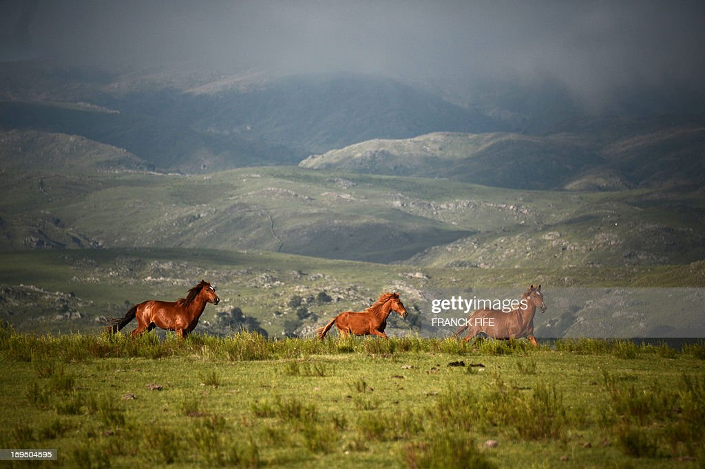 Horses run during the Stage 9 of the Dakar 2013 between Tucuman and Cordoba, Argentina, on January 14, 2013. The rally takes place in Peru, Argentina and Chile between January 5 and 20. AFP PHOTO / FRANCK FIFE