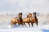 herd of horses in a winter