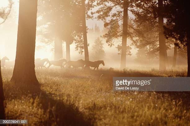 Horses running in forest, early morning mist, side view