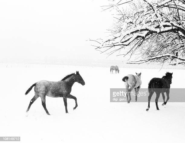 Horses Running in Snow Covered Field, Black and White