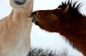 Horses showing emotions